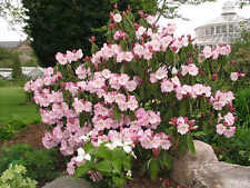 Fortune Rhododendron -25 seeds -Rhododendron Fortune- Evergreen Flowering Shrub