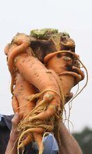 Riesen Möhre, Karotte Gigant 10 Samen