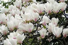 5 Yulan Magnolia seeds Magnolia denudata * Fragrant * Ornamental Tree CombSH M61
