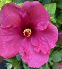 EXOTIC FUCHSIA~MAGENTA HIBISCUS~ STARTER LIVE PLANT 2 TO 5 INCHES TALL
