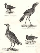 BIRDS.Bustard Squatarola;Grey Sand Piper;Marcgrave Cariama;Gt;Golden Plover 1880