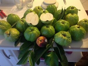 GIANT INDIAN SWEET WHITE GUAVA TREE EXTREMELY RARE FRUIT WEIGHS 2 POUNDS
