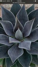 ManGAVE  Plant Agave LAVENDER LADY These Are Indoor Unless You Live In Zone 7