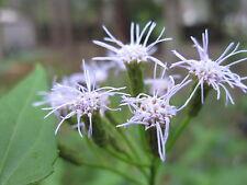 Dream Herb Seed Pods VERY RARE ( Calea Zacatechichi ) 100+ Fresh Heirloom Seeds