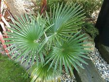 3x Hanfpalme ca. 15/20 cm  Trachycarpus WINTERHART Palme Garten