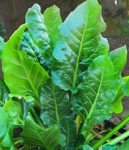 SPINACH PERPETUAL 100+ Seeds HEIRLOOM Heat tolerant vegetable garden green