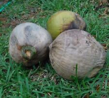 4 Coconut s coconut Palm Tree Florida for crafts