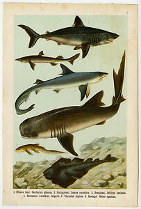 Antique Fish Print-SHARKS-WHALE SHARK-Lithograph-1906