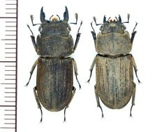 Lucanidae:Dorcus japonicus pair M23.1mmF20.7mm ,A1, unmounted,Japan,beetle