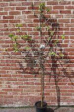 Fruit Tree-Fan Trained Apple Tree Variety Malus Domestica Cox's Orange 1.4m tall