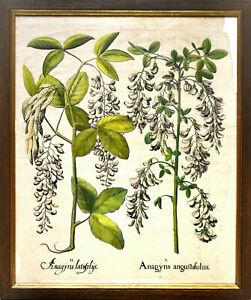 Besler: I. Anagyris latifolys. II. Gerahmter Original-Kupferstich.