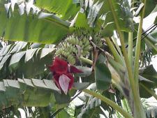 🍌5 GRAINES DE BANANIER NAIN (Musa acuminata) EDIBLE BANANA SEEDS SAMEN SEMILLAS