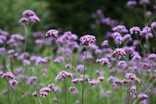 Verbena Bonariensis - pack of 200+ seeds - a gardening favourite - 2016 Harvest