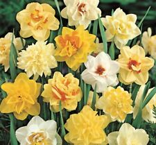 5 Double Daffodils Narcissi Mixed Color Flower Bulb Perennial Spring Blooming