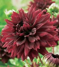 """Black Touch Dahlia Root"" Spectacular Cut Flowers, New Flower Bulb"