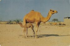 B95737 camel and her off spring bahrain