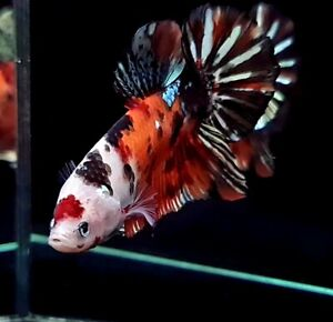 (Unique Color) Premium Live Betta  Male Big Giant Koi Nemo Copper Star Tail