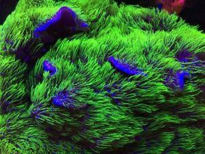 ULTRA NEON Green Star Polyp GSP soft coral frag home breeding beginner grass