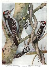 """1936 Vintage FUERTES BIRDS #59 """"HAIRY WOODPECKER & DOWNY"""" Color Plate Lithograph"""