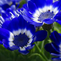 50* Rare Blue Daisy Plants Flower Seeds Exotic Ornamental H7D1 Garden Flowe V0G3