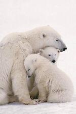 Polar Bear Family Poster! Love mammals Artic Circle vulnerable species kids room