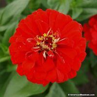 Zinnia- Elegans- Yoga Scarlet- 100 Seeds