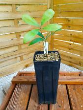 Zamia variegata  (syn. picta) plantule/seedling, Encephalartos, cycad, Dioon