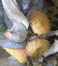 Eucalyptus Macrocarpa Scarce yellow form - 20 Fresh Seeds