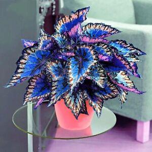 30Pcs Rare Coleus Seeds Exotic Flowers Bonsai Dragon Plants Beautiful Garden