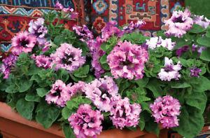 Petunia Grandiflora Superbissima Mix F1 - Petunia x hybrida - Annual Flower Seed