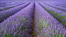 500+ ENGLISH LAVENDER L. VERA Seeds Herb angustifolia Perennial Flower Fragrant