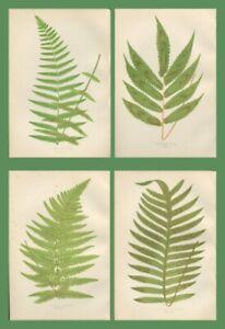 Lot of 4 LOWE Antique Fern Prints Botanical fern POLYPODIUM  Lot 68
