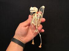 Taxidermie Cabinet de curiosités Gothique Squelette chauve souris Bat Rousettus!