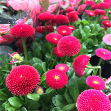 50pcs Daisy Seeds Perennial Cut Flowers FO Home Garden Plant indoor Plants FO