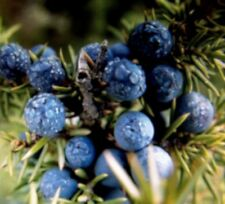 10 Juniper Tree Seeds Great For Bonsai