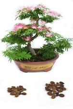 Bonsai Seeds Rare Persian Pink Blossom Flowers Silk Tree Mimosa 20 Seeds New
