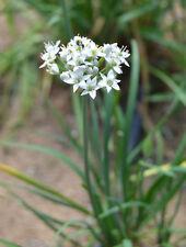min 50 Samen Chinesischer Schnittlauch, Schnittknoblauch  (Allium tuberosum)
