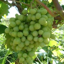 Green White Grape Vine Climbing Plant Soft Fruit  Vroege Vitis Vinifera 2L Pot