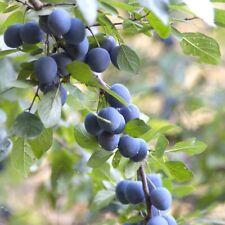 Sloe / Blackthorn - Prunus Spinosa - 100 seeds - Berries - Shrub - Fruit