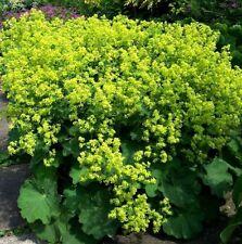 LADY'S MANTLE Alchemilla Mollis Rain Drops 30 Seeds