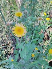 Lactuca serriola,wild prickly lettuce,milk thistle 50 seeds,  biennial