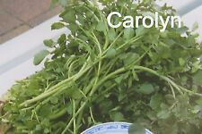 "500 Seeds "" Watercress "" Water Cress, Sai Yeung Tsoi, Xi Yang Choy, Xa Lach Son"