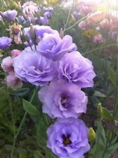15+   LISIANTHUS EUSTOMA ECHO LAVENDER / DOUBLE FLOWER  / ANNUAL FLOWER SEEDS