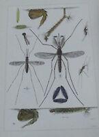 Objet scolaire planche insecte N°165 MOUSTIQUE, COUSIN, ANOPHÈLE