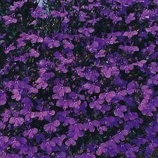 LOBELIA 'Crystal palace' 500 seeds flower garden flowers