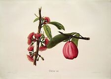 "Antique Hawaii Botanical Print: Hawaii Native Flower ""THE OHIA-AI"": London, 1885"