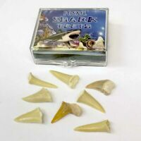 Shark Teeth Fossils - Children's Mini Assortment Box