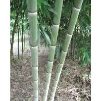 Giant moso bamboo seeds Phyllostachys pubescens 100pcs USA Seller