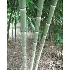 Giant moso bamboo seeds Phyllostachys pubescens 50pcs USA Seller