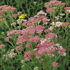 Kings Seeds-Achillea Cerise Queen - 150 semi